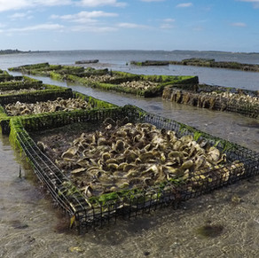 Sustainability and Sustainable Intensification of Oyster Production