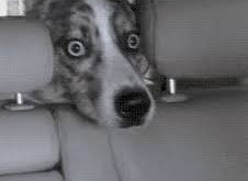 Vehicle Phobias - Dog Walkers Beware