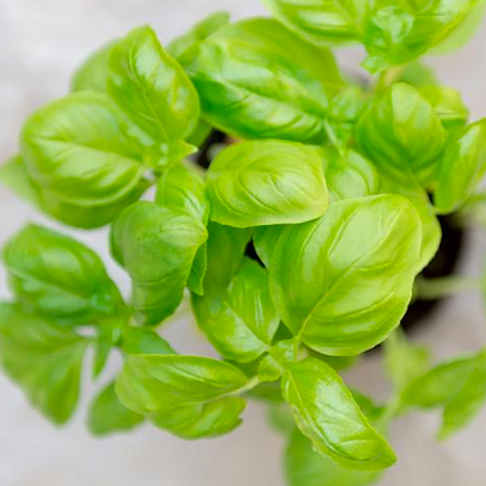 Basil Infused EVOO