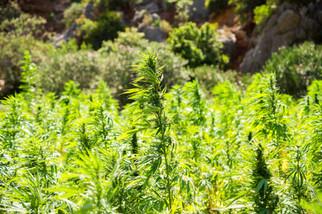 cannabis-2773112_1920.jpg