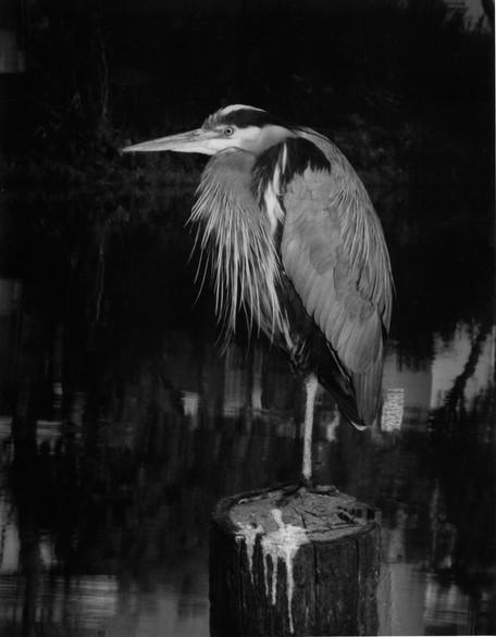 Night Heron, Mission Creek, San Francisco