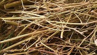 pile of cannabis stalks.jpg