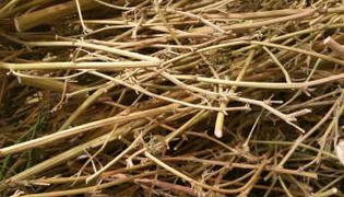 pile of cannabis stalks.jpg