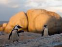 Matan abejas a decenas de pingüinos en peligro de extinción en Sudáfrica