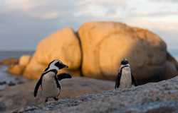 afrikanska Penguins