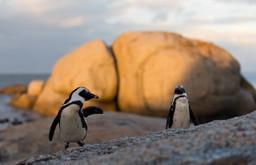 afrikanische Pinguine
