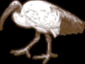 Sacred Ibis.png