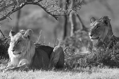 Lion   Panthera leo   Johannes Refisch