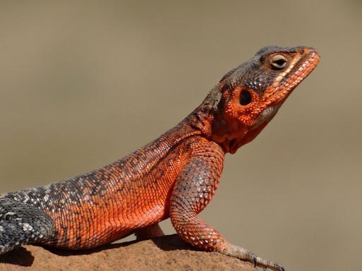 Lizard on Suyian, Laikipia