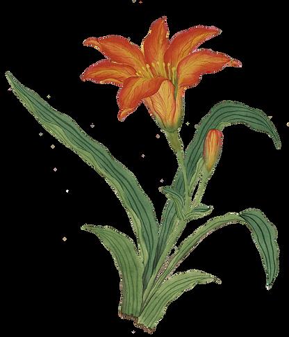 Orange Lily.png