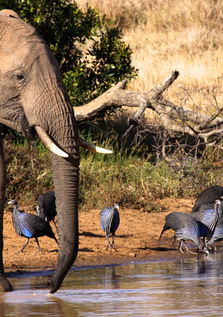 Elephant and Guinea Fowl