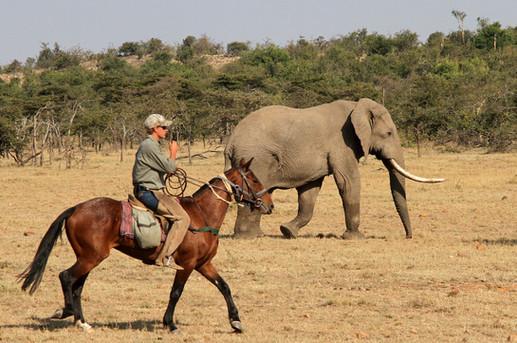 Offbeat Safaris - Amboseli elephant bull