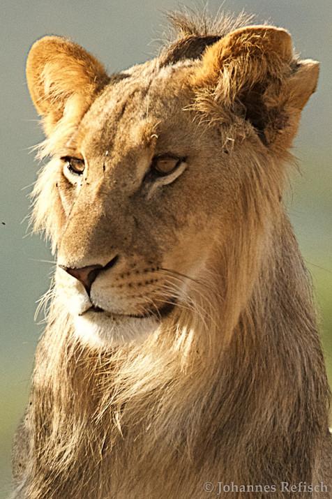 Lion | Panthera leo | Johannes Refisch