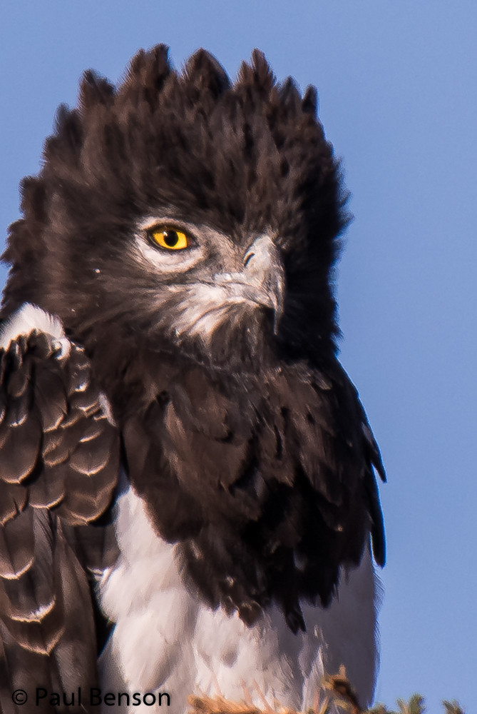 Black-chrested-snake-eagle-2-2.jpg