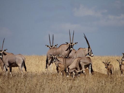 Oryx in Northern Kenya