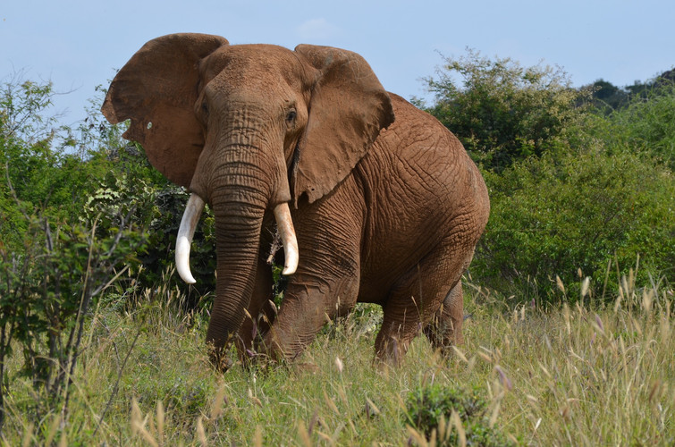 Elephant on Suyian, Laikipia