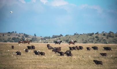 Horses, birds and buffaloes.jpg