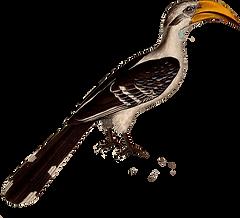 Hornbill.png