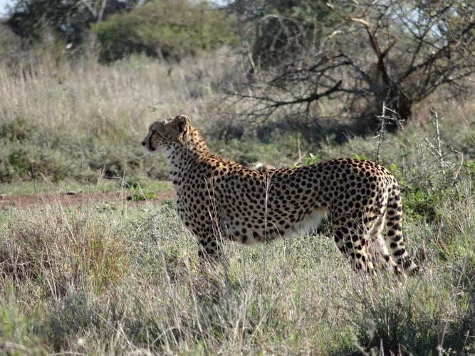 Cheetah on Suyian, Laikipia