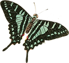 Butterfly turquoise.png