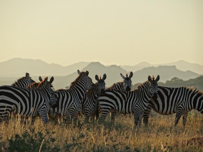 Zebras on Suyian, Laikipia