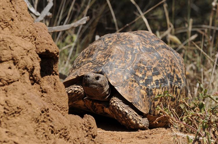 Tortoise on Suyian, Laikipia