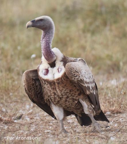 Rüppels-Vulture-905x1024.jpg