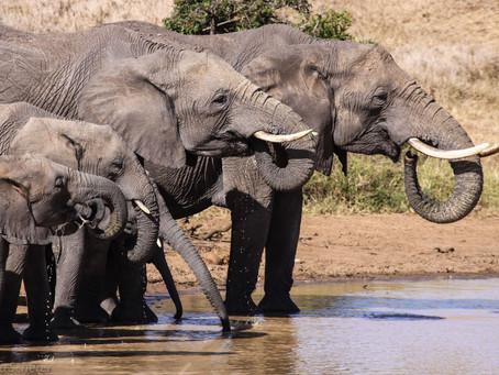 Elephant Rescue At El Karama Conservancy, Laikipia