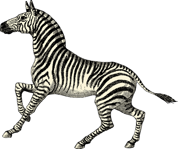 Zebra_edited.png