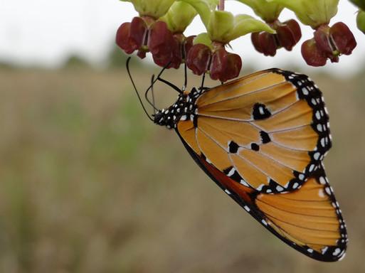 Buttefly on Suyian, Laikipia