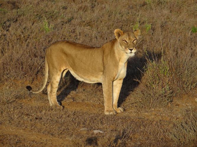 Lioness on Suyian, Laikipia