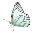 Pale blue butterfly_edited.png