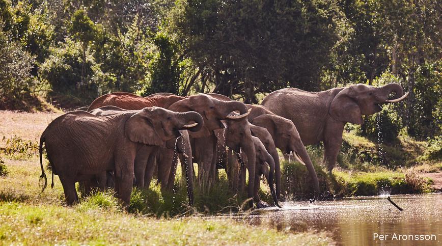 Elephant-herd-drinking.jpg
