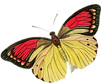 Butterfly yellow and yred.png