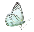 Pale blue butterfly.png