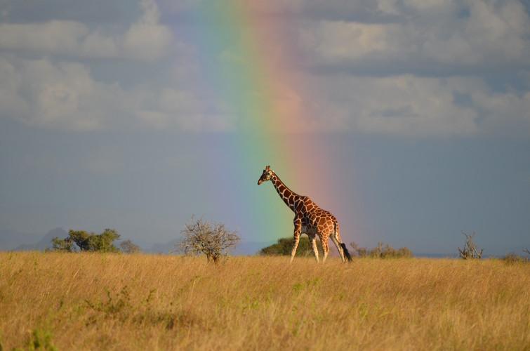 Giraffe on Suyian, Laikipia
