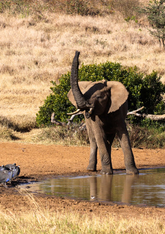 Elephant and Guinea Fowl 2
