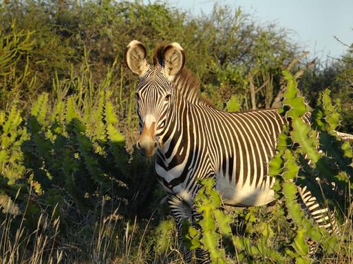 Grevy's zebra on Suyian, Laikipia