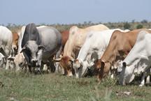 Boran bull with heifers.JPG
