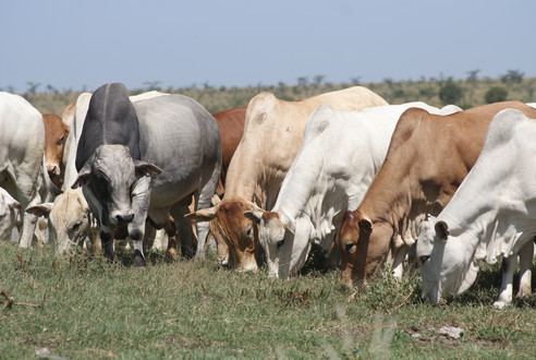 Boran bull with heifers.JPG