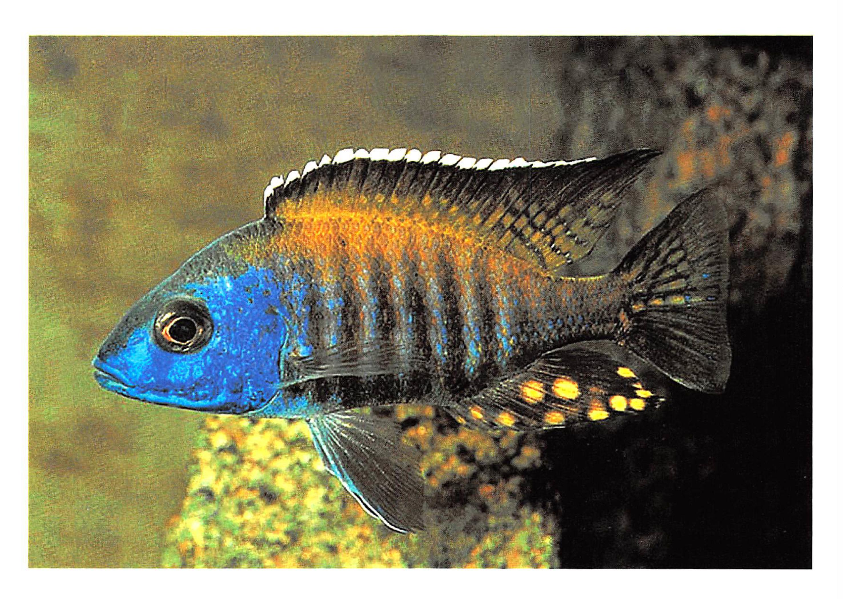 Peacock Cichlid (Aulonocara)