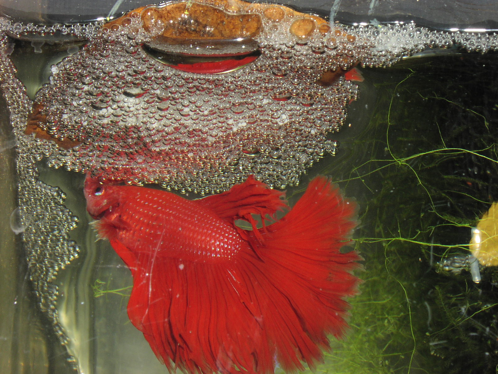 Red male Siamese fighting fish tending eggs (Betta splendens)
