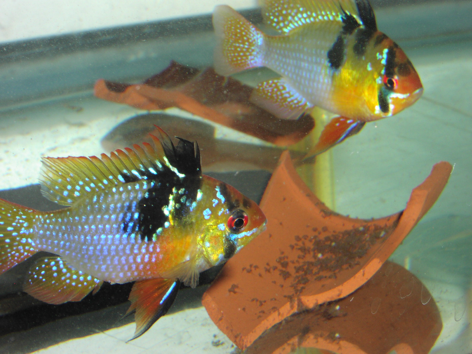 German Blue Ram pair with wrigglers (Mikrogeophagus ramirezi)