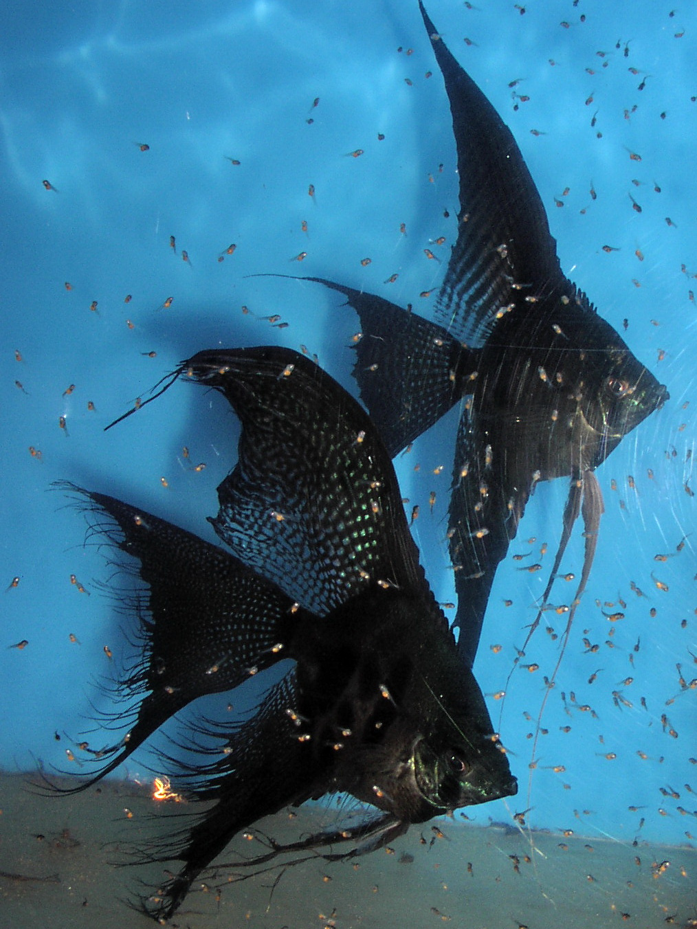 Black veil angelfish pair with fry (Pterophyllum Scalare)