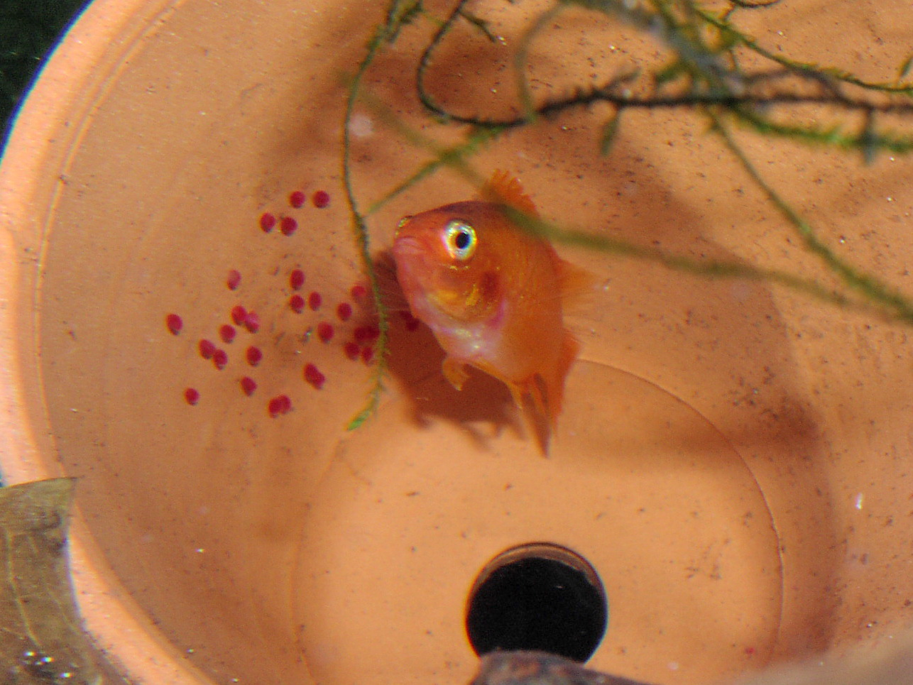Female FireRed Apisto Agassizii with eggs (Apistogramma agassizii)