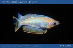 Tanganyika Killifish (Lamprighthys Tanganicanus)