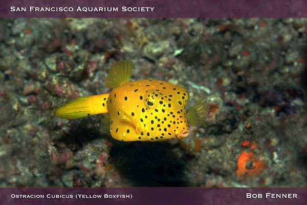 Yellow Boxfish (Ostracion Cubicus)