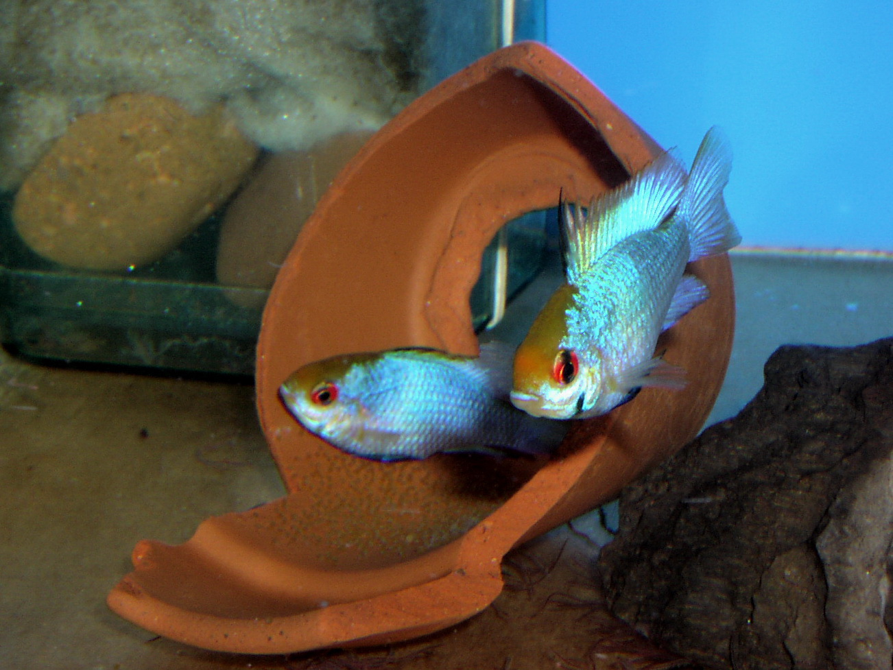 Electric Blue Ram pair with eggs (Mikrogeophagus ramirezi)