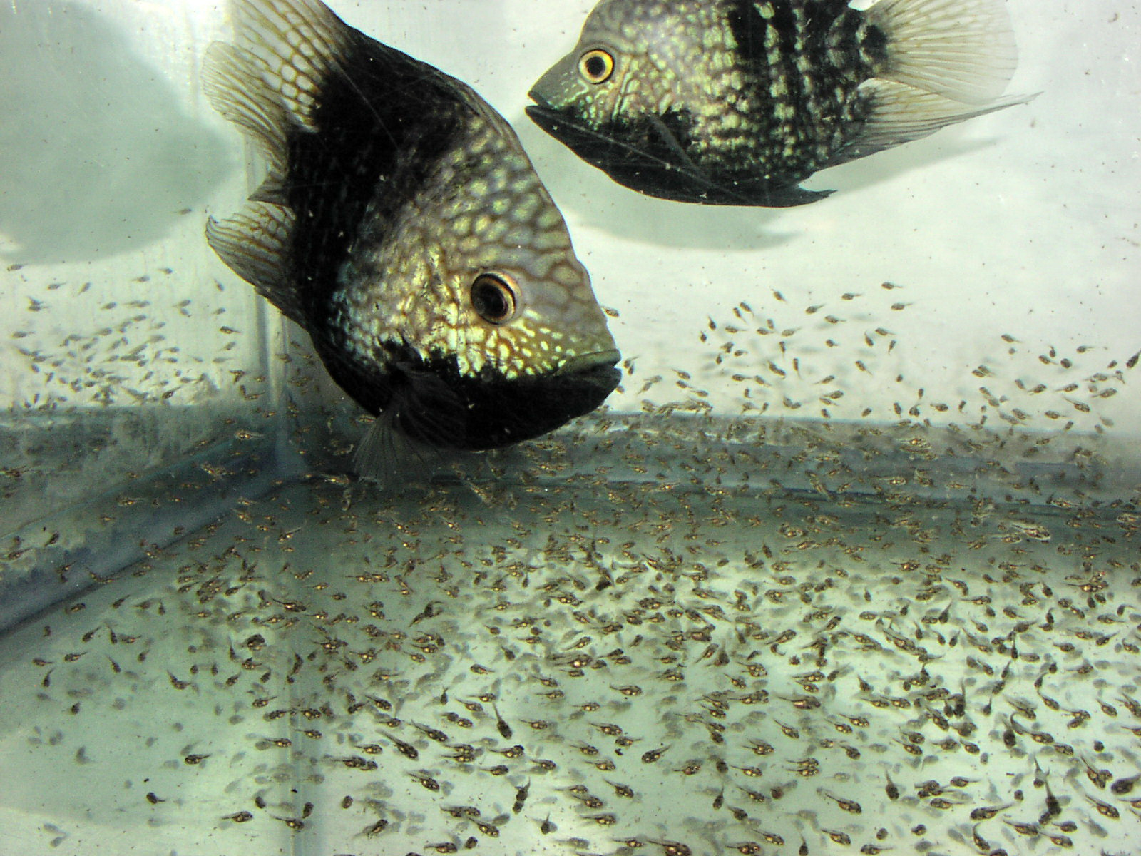 Balloon Texas Cichlid pair with  fry (Herichthys cyanoguttatus)