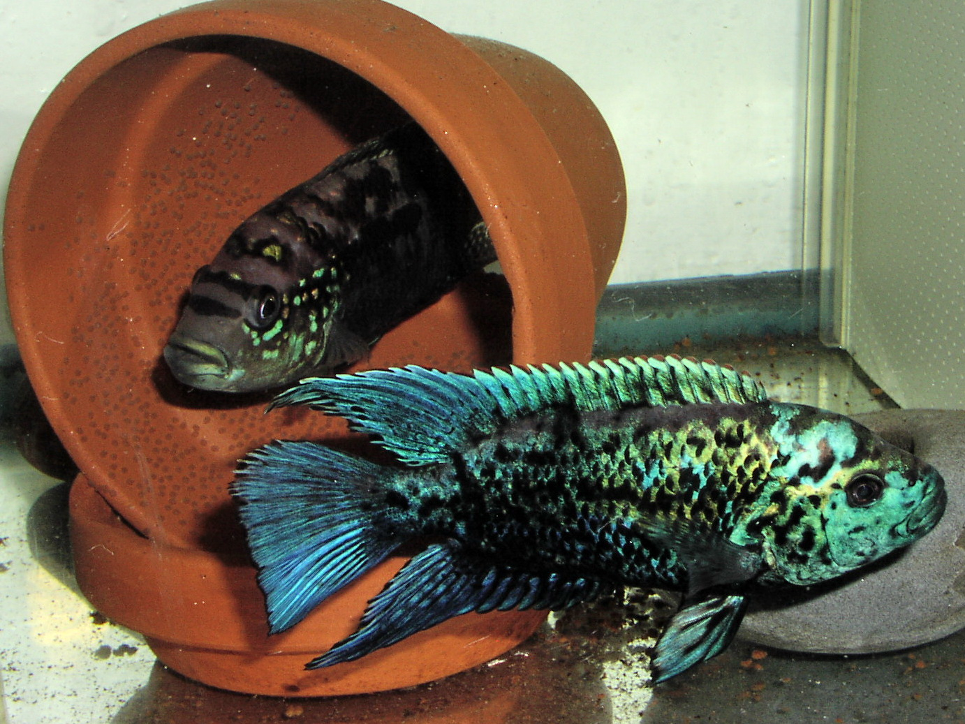 Electric blue Jack Dempsey Cichlid pair with eggs
